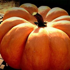 Мускат де Прованс семена тыквы крупноплодной (Euroseed)