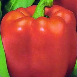 Квадрато Асти красный семена перца сладкого раннего 110 дн (SAIS)