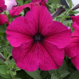 Амфора Ruby семена петунии многоцветковой дражированые (Kitano Seeds)