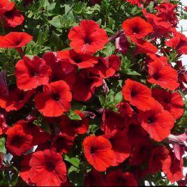 Амфора Red семена петунии многоцветковой дражированые (Kitano Seeds)