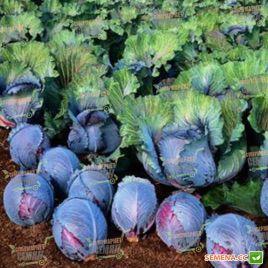 Рокси F1 (Roxy F1) семена капусты к/к поздней 125-135 дн 2-3,5 кг (Seminis)