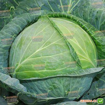 Агрессор F1 семена капусты б/к среднепоздней (Syngenta)