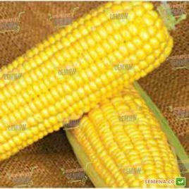 ГСС 1453 (GSS 1453) F1 семена кукурузы суперсладкой Sh2 83дн 22см 18р. (Syngenta)