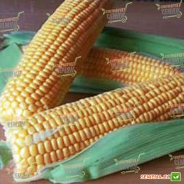 ГСС 1477 (GSS 1477) F1 семена кукурузы суперсладкой Sh2 до 79дн. 21см 18р. (Syngenta)