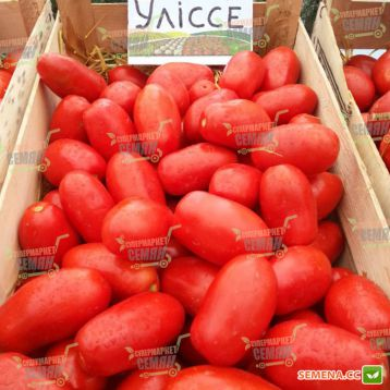 Уліссе F1 насіння томату дет. (Syngenta)