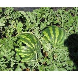 АУ Продюсер семена арбуза среднераннего тип Кримсон Свит 70-80 дней 8-12 кг (SAIS)