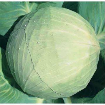 Белоснежка семена капусты б/к поздней 150-155 дн. 2,5-3,9 кг (Hortus)