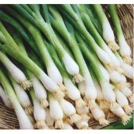 Вайт Лисабон семена лука на перо 35-45 дн. (SAIS)