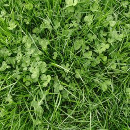 Газонная трава Ривендел (DLF Trifolium)