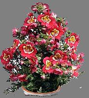 Какшизантус, СХИЗАНТУС, Цветок-бабочка