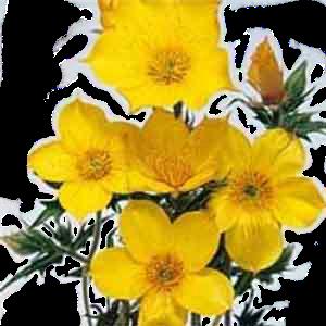 семена бартонии