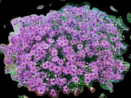 семена брахикомы