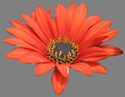 семена акротиса