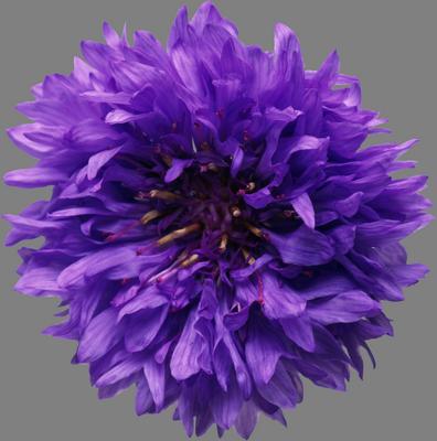 семена василька