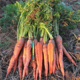 Флакки-3 Гиганта семена моркови Флакке (Hazera) СНЯТО С ПРОИЗВОДСТВА