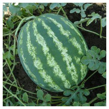 Овация F1 семена арбуза бессемянного тип Кримсон Свит раннего 65-75 дн 7-8 кг (SAIS)