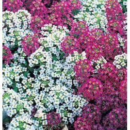 Персона Bright mix семена алиссума (Kitano Seeds)