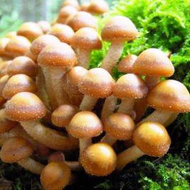 Опенок летний мицелий на палочках (Украина)