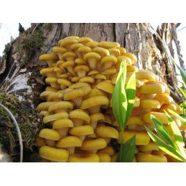 Вешенка Лимонная мицелий на палочках (Украина)