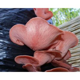 Вешенка розовая мицелий на палочках (Украина)