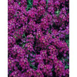 Фаворит Deep Purple семена алиссума дражированные (Kitano Seeds)
