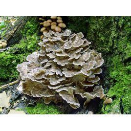 Майтаке мицелий на палочках (Украина)
