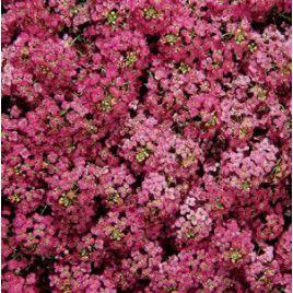 Дип Роуз Фейворит (Deep Rose Favourite) семена алиссума (лобулярии, каменника) дражированные однол. (Kitano Seeds) НЕТ СЕМЯН