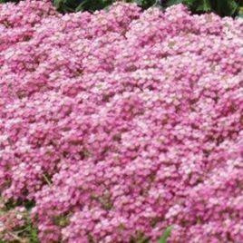 Фаворит Пинк (Pink) семена алиссума (лобулярии, каменника) дражированные однол. (Kitano Seeds) НЕТ СЕМЯН