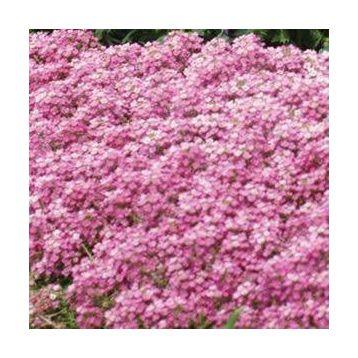 Алиссум Фаворит пинк (Pink)