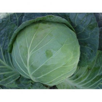 Ельвира F1 семена капусты белокочанной средней (SX)