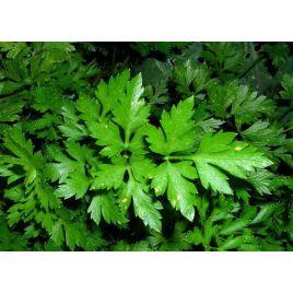 Гигант Италии семена петрушки листовой (Элитный ряд)