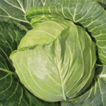 Увертюра F1 семена капусты белокочанной ранней (SX)