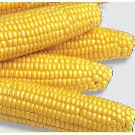 Мегатон F1 семена кукурузы суперсладкой Sh2 средней 84дн. 25см 18-20р. (Harris Moran)