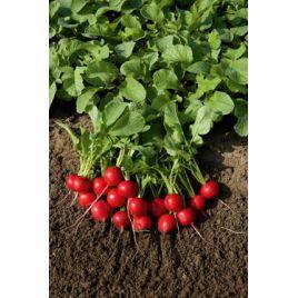 Ред Кристал семена редиса 20-24 дн. (Innova Seeds)