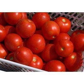 Шаста F1 (INX 1575 F1) семена томата дет. раннего 85-90 дн. окр. 150-170 гр. (Innova Seeds)