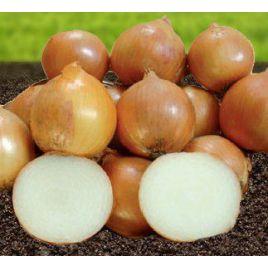 Стартер F1 семена лука репчатого раннего (Advanta)
