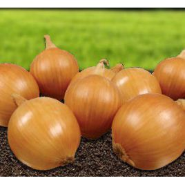 Шерпа F1 семена лука репчатого среднего (Advanta)