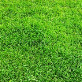 Газонна трава Универсальная (Свитязь)