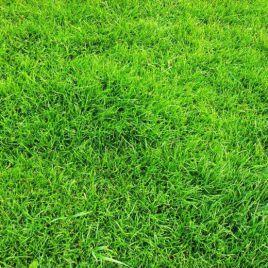 Универсальная семена газонной травы (Свитязь)