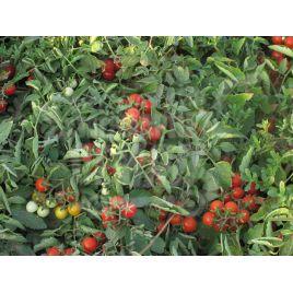 Сомма F1 семена томата дет. черри ультрараннего 85-90 дн. окр. 12-15 гр. (Nunhems)