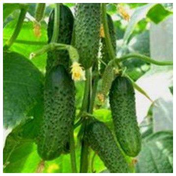 семена огурца бобрик f1