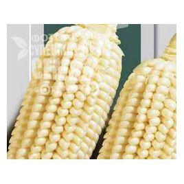 Попкорн семена кукурузы рисовой (Польша)