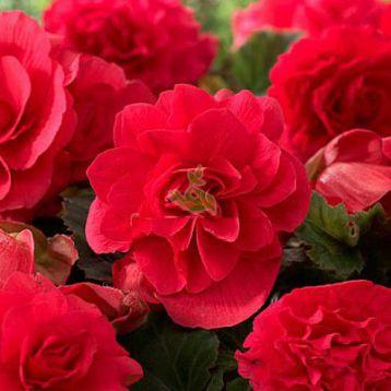 Бегония махровой вечноцветущей Делюкс Red семена дражированные (Kitano Seeds)