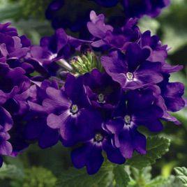 Вербена гибридная Тускани синяя (Syngenta)