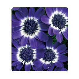 Цинерария Вероника Blue семена (Kitano Seeds)