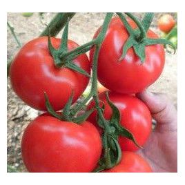 Немесис F1 семена томата индет. раннего 65-70 дн. окр. 280-320г (Yuksel)