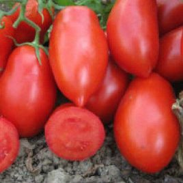 Талент F1 семена томата дет. с носиком среднего слив. 70 гр. (Esasem)