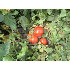 Орко F1 семена томата дет. 200-250г (Bayer Nunhems) СНЯТО С ПРОИЗВОДСТВА