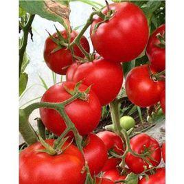 Леда F1 семена томата полудет. ультрараннего окр. 200-220г (Yuksel)