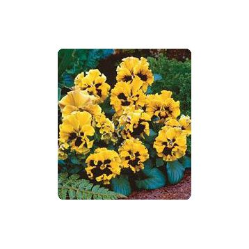 Карусель Yellow семена фиалки (Kitano Seeds)